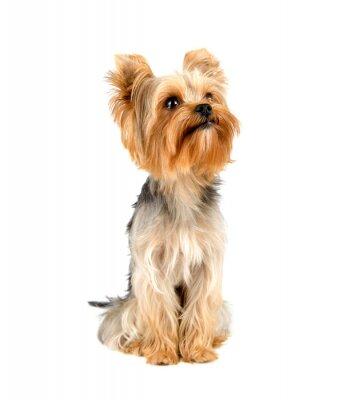 Sticker Yorkshire-Terrier