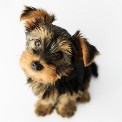 Sticker Yorkshire-Terrier - Porträt einer niedlichen Welpen