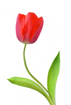 Young red tulips isolated on white background