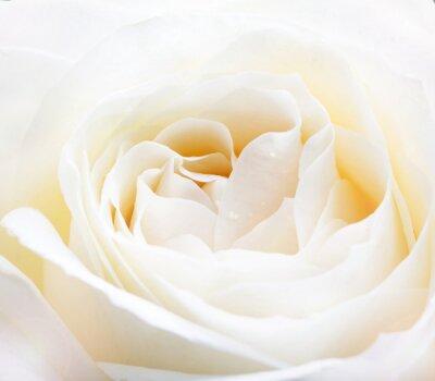 Sticker zarten weißen Rose Nahaufnahme Bild