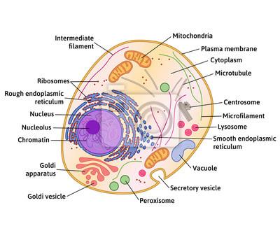 Zellstruktur, querschnitt der zelle detaillierte anatomie mit ...