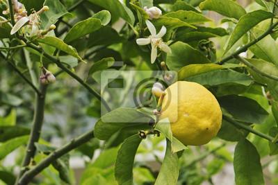 Zitrone und Blumen auf Zitronenbaum.