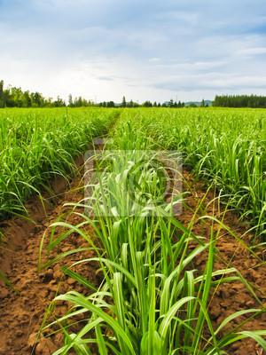 Zuckerrohr Reihe Landschaft