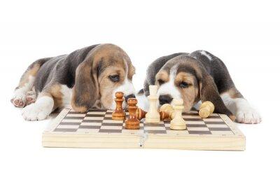 Sticker zwei Beagle Welpen spielen Schach auf einem weißen Hintergrund im Studio