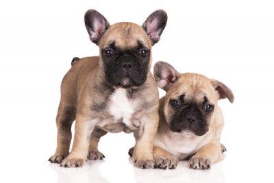 Sticker zwei beige französisch Bulldogge Welpen auf weißem