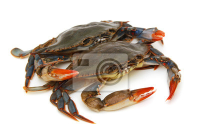 Zwei blaue Krabben mit weißem Hintergrund
