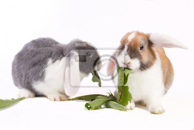 Zwei junge Mini-lop Kaninchen