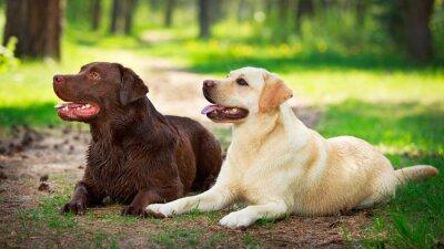 Sticker zwei Labrador Retriever Hund