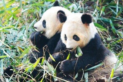 Sticker Zwei Panda-Bären essen Bambus, sitzen nebeneinander, China