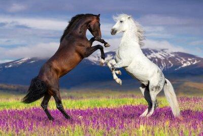 Zwei Pferd Aufzucht gegen Berg Blick in Blumenfeld