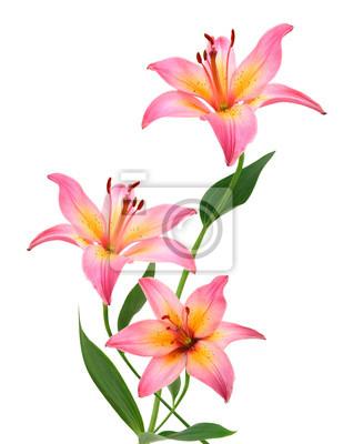 Zwei rosa Lilienblumen. Getrennt auf weißem Hintergrund