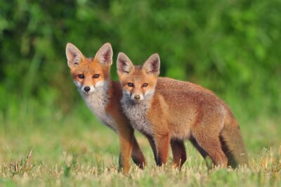 Sticker Zwei rote Füchse