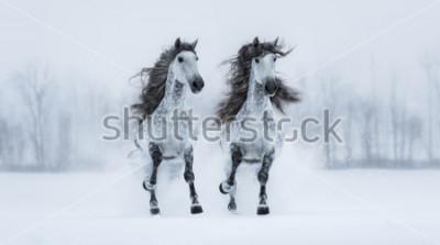 Sticker Zwei runnig graue langmähige reinrassige spanische Pferde über schneebedecktem Feld.