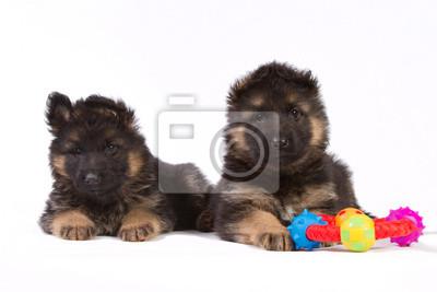 Zwei Schäferhund Welpen mit Spielzeug