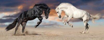 Zwei schöne Pferd Porträt in Bewegung Aufzucht gegen Sonnenuntergang Himmel in Wüste Staub. Schwarz-Weiß-Pferde Banner für Website