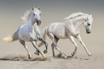 Zwei weiße Pferd laufen