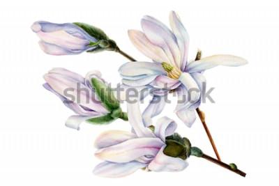 Sticker Zweig der Frühlingsmagnolie blüht auf einem lokalisierten weißen Hintergrund, Aquarellillustration, botanische Malerei